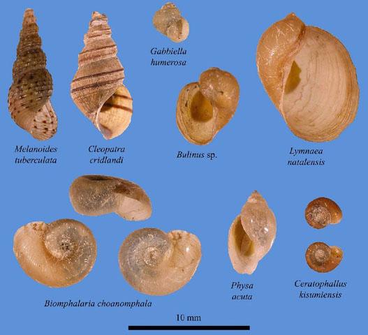 schistosomiasis snail species