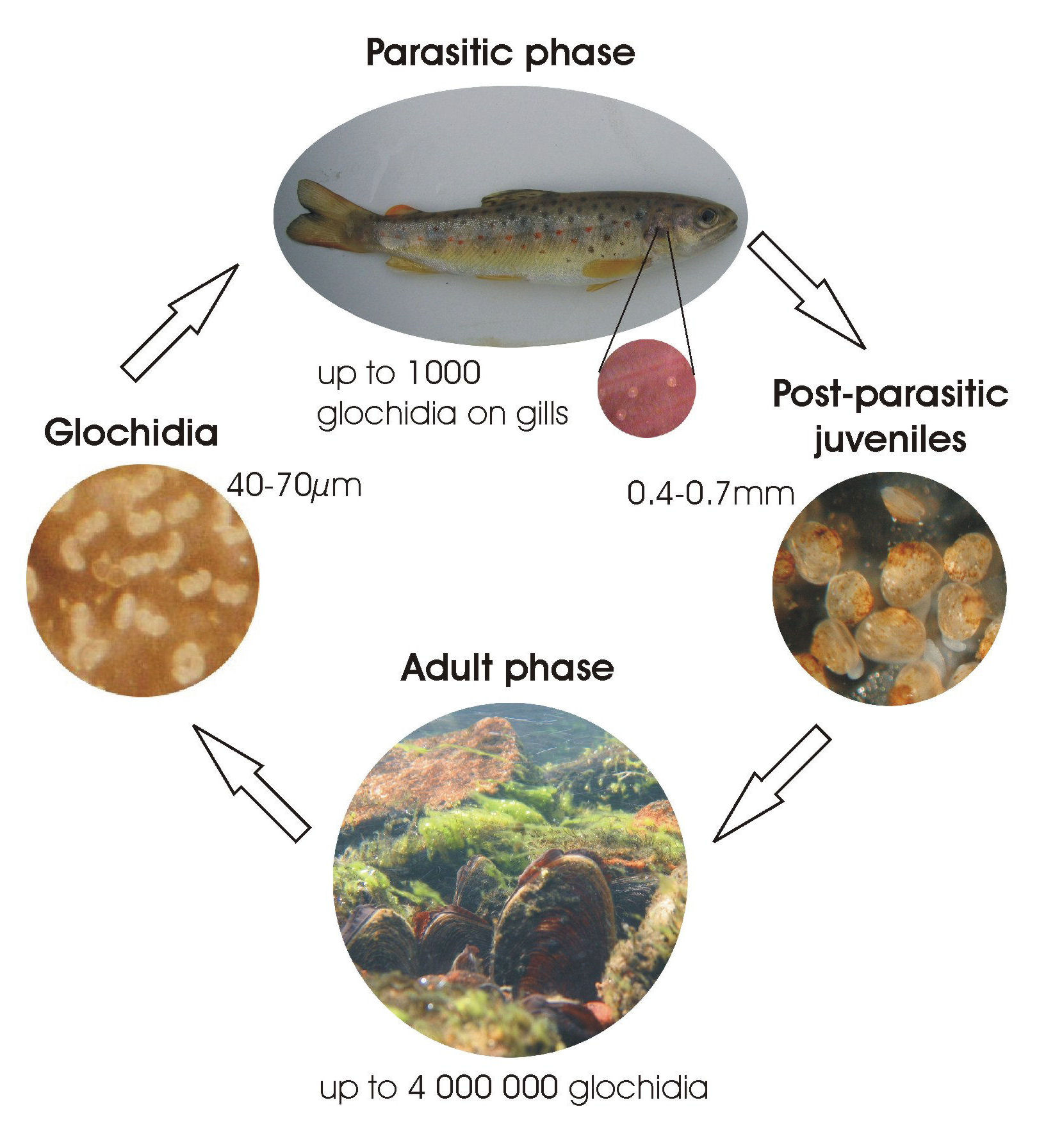 Freshwater fish life cycle - Freshwater Fish Life Cycle
