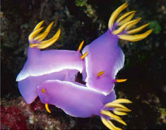 Hypselodoris apolegma (Yonov, 2001). Mating specimens, 30mm in length, photographed in Lembeh Strait, Sulawesi, Indonesia, at 8 m depth on sand slope of patch reef. Photograph by M.J. Adams.